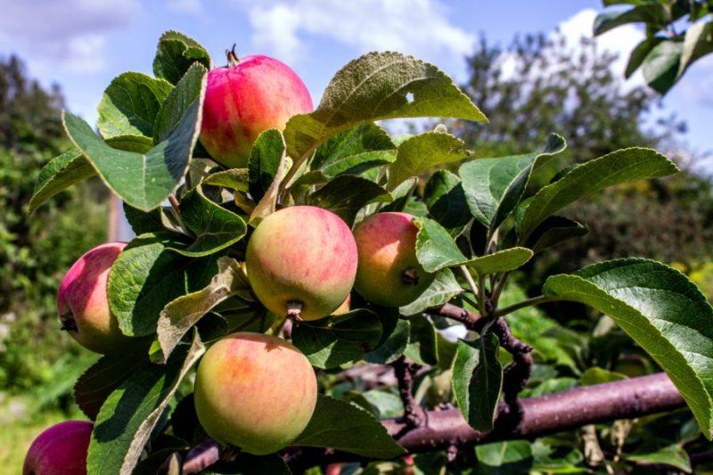 Dobeles Ābolu svētku laikā pasniegs īpašu ordeni par ieguldījumu  augļkopības attīstībā   Laukos.lv
